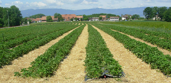 March des chandines fraises - Culture haricot vert plein champ ...